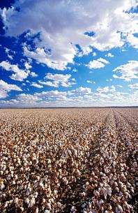 Cotton field Lake Menindee NSW Australiaの写真素材 [FYI03639065]