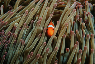 Raja Ampat Indonesia Pacific Ocean false clown anemonefish (の写真素材 [FYI03639095]