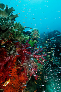 Raja Ampat Indonesia Pacific Ocean female scuba diver swimmiの写真素材 [FYI03639096]