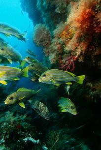 Raja Ampat Indonesia Pacific Ocean school of oriental sweetlの写真素材 [FYI03639099]