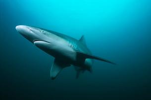 Aliwal Shoal Indian Ocean South Africa tiger shark (Galeocerの写真素材 [FYI03639109]