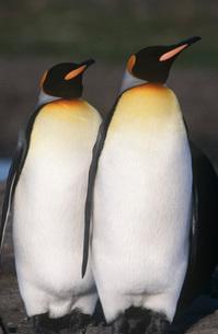 UK South Georgia Island two King Penguins walkingの写真素材 [FYI03639244]