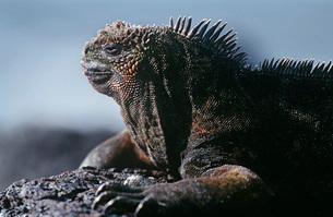 Ecuador Galapagos Islands Marine Iguana resting on rock closの写真素材 [FYI03639250]