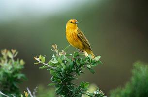 Yellow Warbler perching on bushの写真素材 [FYI03639254]