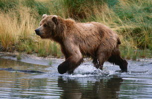 USA Alaska Katmai National Park Brown Bear running across waの写真素材 [FYI03639268]