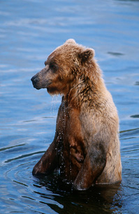 USA Alaska Katmai National Park Brown Bear in waterの写真素材 [FYI03639269]