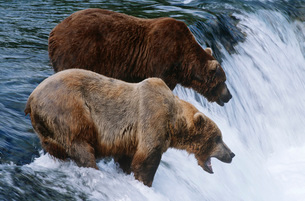 USA Alaska Katmai National Park two Brown Bears standing inの写真素材 [FYI03639270]