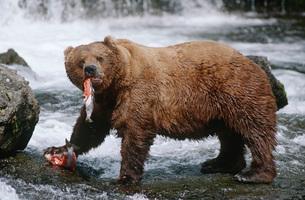 USA Alaska Katmai National Park Brown Bears eating Salmon riの写真素材 [FYI03639271]