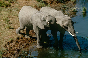Namibia two African Bush Elephants drinking water from riverの写真素材 [FYI03639276]
