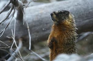 Yellow-bellied Marmot standing on hind legs by fallen tree tの写真素材 [FYI03639286]