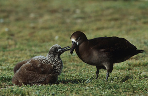 Black-Footed Albatross (Phoebastria nigripes) feeding nestliの写真素材 [FYI03639304]