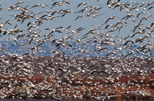 Flock of Snow Geese (Chen carelessness) in flightの写真素材 [FYI03639318]