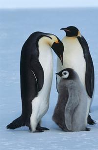 Antarctica Weddel Sea Atka Bay Emperor Penguin Familyの写真素材 [FYI03639338]