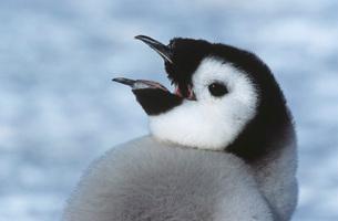 Close-up of Juvenile Emperor Penguin with open beakの写真素材 [FYI03639340]