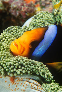 Orange-fin Anemonefish sheltering in anemoneの写真素材 [FYI03639396]