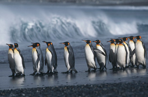UK South Georgia Island colony of King Penguins marching onの写真素材 [FYI03640052]