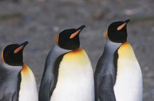 UK South Georgia Island three King Penguins standing side byの写真素材 [FYI03640057]