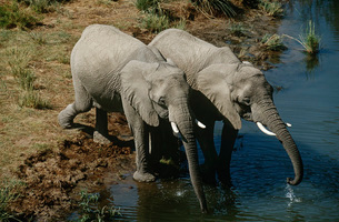 Namibia two African Bush Elephants drinking water from riverの写真素材 [FYI03640061]