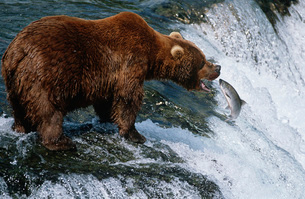 USA Alaska Katmai National Park Brown Bear catching Salmon iの写真素材 [FYI03640062]