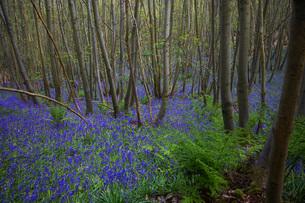 Purple Wildflowers in Forestの写真素材 [FYI03640273]
