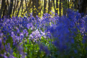 Purple Wildflowersの写真素材 [FYI03640278]
