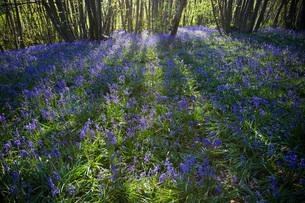 Purple Wildflowers in Forestの写真素材 [FYI03640279]
