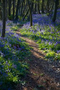 Purple Wildflowers on Pathの写真素材 [FYI03640280]