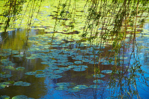 Willow Branches Over Lily Pad Covered Pondの写真素材 [FYI03640286]