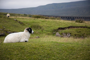 Sheep on pasture  Yorkshire Dales Yorkshire Englandの写真素材 [FYI03640581]