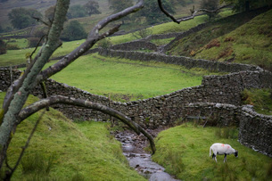Sheep on pasture in Yorkshire Dales Yorkshire Englandの写真素材 [FYI03640586]