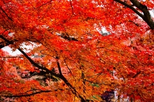 紅葉 京都の写真素材 [FYI03640724]