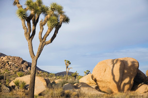 Joshua trees and rocks in desertの写真素材 [FYI03641339]