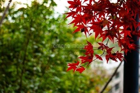 赤いもみじの写真素材 [FYI03641437]