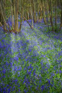 Purple Wildflowers in Forestの写真素材 [FYI03641514]