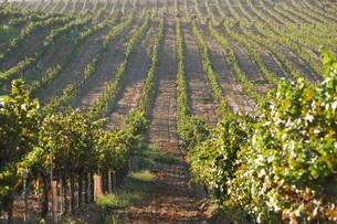 Grape vines in vineyardの写真素材 [FYI03641569]