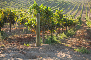 Grape vines in vineyardの写真素材 [FYI03641571]