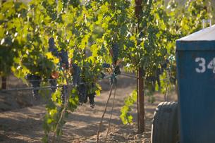 Grapes in vineyardの写真素材 [FYI03641573]