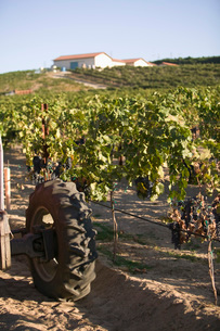 Grape vines in vineyardの写真素材 [FYI03641574]