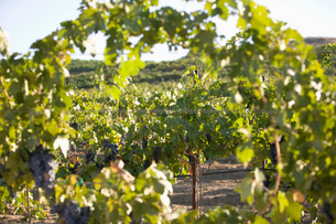 Grape vines in vineyardの写真素材 [FYI03641575]