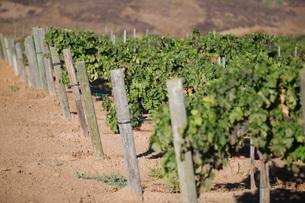 Grape vines in vineyardの写真素材 [FYI03641576]