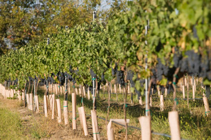 Grape vines in vineyardの写真素材 [FYI03641581]