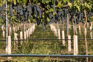 Grapes in vineyardの写真素材 [FYI03641582]