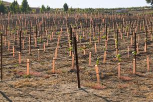 Grape vines in vineyardの写真素材 [FYI03641585]