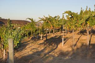Grapes in vineyardの写真素材 [FYI03641587]