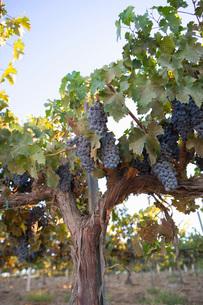 Grapes in vineyardの写真素材 [FYI03641589]
