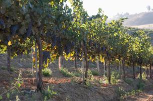 Grapes in vineyardの写真素材 [FYI03641600]