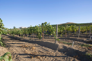 Grape vines in vineyardの写真素材 [FYI03641602]