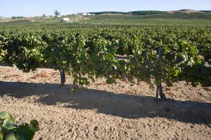 Grapes in vineyardの写真素材 [FYI03641608]