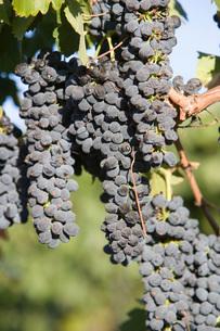 Grapes in vineyardの写真素材 [FYI03641609]
