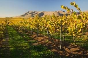Vineyard in Santa Maria Californiaの写真素材 [FYI03642905]